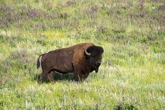 Bison Heard på Black Hills South Dakota fotografering för bildbyråer