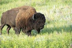 Bison Heard in Zwart Heuvels Zuid-Dakota royalty-vrije stock fotografie