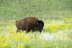 Bison Heard in Zwart Heuvels Zuid-Dakota stock afbeelding