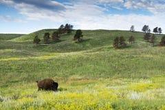 Bison Heard in Zwart Heuvels Zuid-Dakota stock afbeeldingen