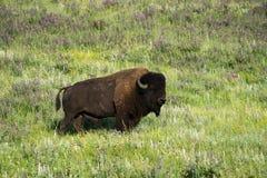 Bison Heard in Zwart Heuvels Zuid-Dakota royalty-vrije stock foto's
