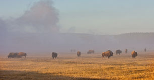 Bison herd. In Yellowstone park Royalty Free Stock Photography
