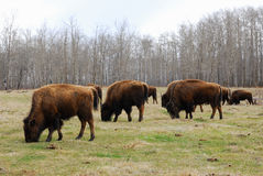 Bison herd Stock Photography