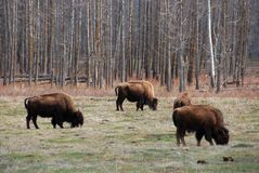 Bison herd Royalty Free Stock Image