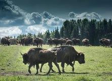 Bison Herd Foto de archivo