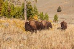 Bison Herd Stock Foto