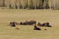 Bison Herd fotografering för bildbyråer