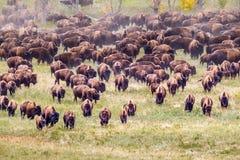 Bison Herd Imagenes de archivo