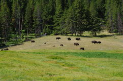 Bison Herd Foto de Stock Royalty Free