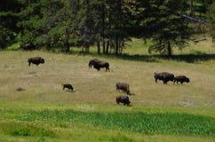 Bison Herd Imagens de Stock Royalty Free