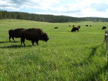 Bison Herd Images libres de droits