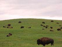 Bison Herd on the American Western Prairie Royalty Free Stock Photo