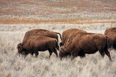 Bison. Herd of Bison on Antelope Island Royalty Free Stock Images