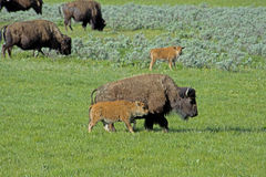 Bison herd with babies in Yellowstone National Park. Royalty Free Stock Photo