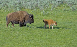 Bison herd with babies in Yellowstone National Park. Royalty Free Stock Photography