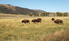 Bison Herd. Buffalo.Bison's family. Yellowstone national park as background. Bison's familywalking , grazing in big  field in Yellowstone National park,USA Royalty Free Stock Photos