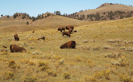Bison Herd. Buffalo.Bison's family. Yellowstone national park as background. Bison's family walking , grazing in big  field in Yellowstone National park,USA Royalty Free Stock Photos