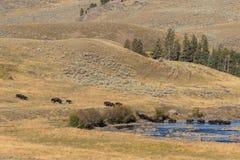 Bison Herd Crossing River Stock Fotografie