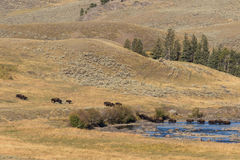 Bison Herd Crossing River Stock Photography