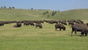 Bison Herd in Custer State Park stock footage