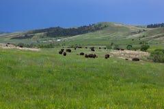 Bison Herd in Custer State Park, BR royalty-vrije stock fotografie