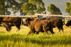 Bison Herd at Dawn Stock Photo