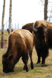 Bison herd in elk island Royalty Free Stock Photo