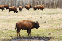 Bison herd in elk island Stock Photos