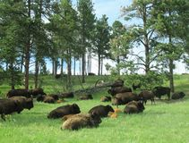 Herd of bison resting in field Stock Photo