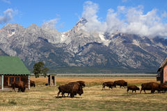 Bison Herd in the Grand Tetons Stock Photo