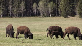 Bison Herd Grazing vídeos de arquivo