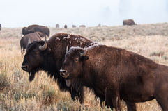 Bison herd. A herd of bison grazing the field Stock Photos