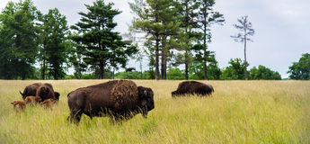 Bison Herd Grazing in Field Stock Photography