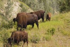 Bison herd grazing stock image