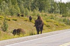 Bison herd grazing royalty free stock photos