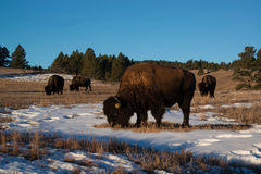 Bison herd grazing on snowy hillside Royalty Free Stock Photo