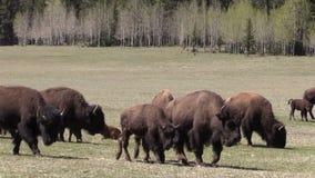 Bison Herd Grazing in Weide stock footage