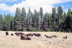 Bison Herd Grazing in Yellowstone Park. Serene landscape featuring small herd of American bison (buffalo) grazing and resting  on ripened grassy plain. Green Stock Photos