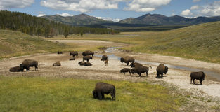 Bison herd hayden valley Royalty Free Stock Photos