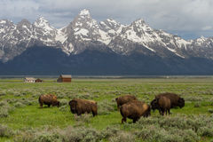 Bison herd homestead barns and wyoming mountains. Bison herd grazing in big green field with western homestead barns and wyoming teton mountains royalty free stock images