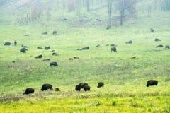 Bison Herd i Blacket Hills royaltyfria foton