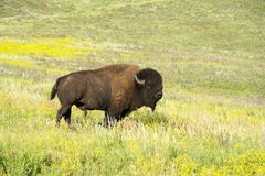 Bison Herd i Blacket Hills royaltyfria bilder
