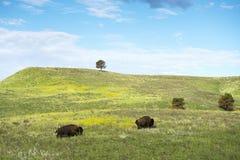 Bison Herd i Blacket Hills royaltyfri foto