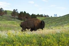 Bison Herd i Blacket Hills fotografering för bildbyråer