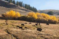 Bison Herd i nedgång royaltyfri foto