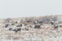 Bison Herd i snöstorm Royaltyfri Foto