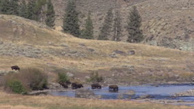 Bison Herd in the Lamar River stock footage