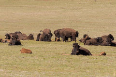 Bison Herd in Meadow Stock Photography
