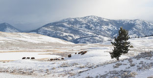 Bison herd migrate in winter. A bison herd migrating through huge yellowstone mountainous landscape in winter Stock Images