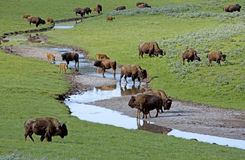 Bison herd near a water source. Royalty Free Stock Photos